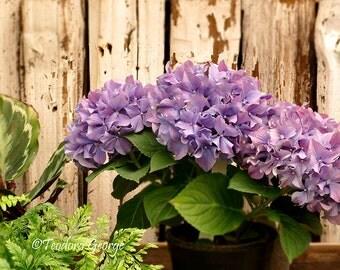 Purple Hydrangea Photo Notecard