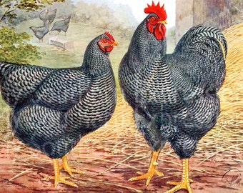 Plymouth Rocks Chicken Rooster Hen Vintage Printable Farm Animal Art Digital Download JPG Image