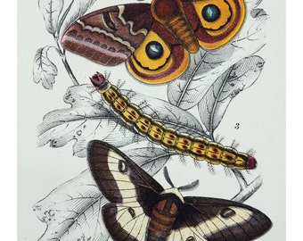 Antique colour print moth Automeris butterfly lithograph chromolithograph  Natural History insects