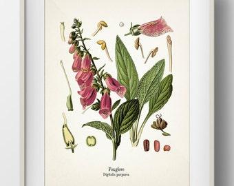 Foxglove - Digitalis Purpurea - KO-34- Fine art print of a vintage botanical natural history antique illustration