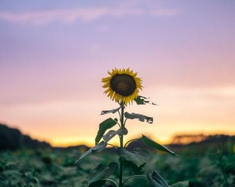 Nature Photography - Stand Tall - Sunflower Photo