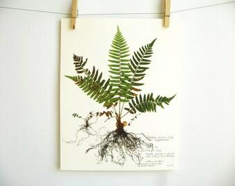 Western Sword Fern Print, #224, pressed fern art print of original herbarium specimen with fronds fiddleheads baby fern scientific wall art