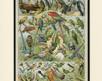 """Large Antique Bird Print C.1897 Parrot, Owl, Hawk, Birds of Paradise, French Larousse Lithograph Matted 14x18"""""""