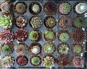 Pack Of 30 Sempervivum Succulent Plants 30 Varieties Hens & Chicks