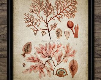 Seaweed Print - Vintage Seaweed Illustration - Marine Seaweed  - Digital Art - Printable Art - Single Print #39 - INSTANT DOWNLOAD