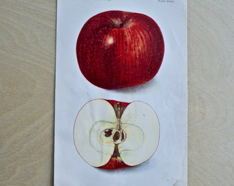 1906 - Red Apple - Antique Print - Vintage Bookplate from The 1906 Commissioner of Agriculture - Kitchen and Home Decor