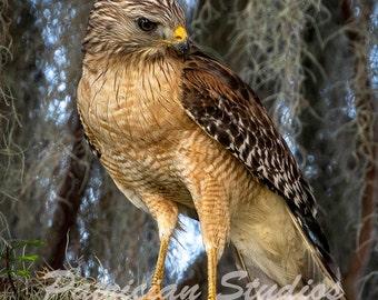 Hawk, Red shouldered Hawk Gathering for the Nest (RSH 100)