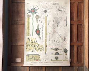 Antique Medical Pull Down Chart, LARGE Nerve Tissue Medical Chart, French Anatomy Poster, Antique Medical Art, Medical Decor