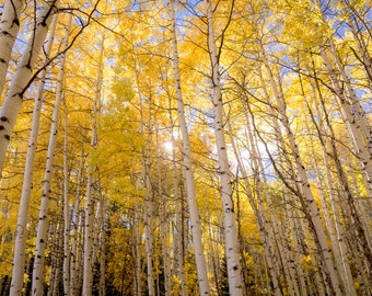 Aspen Trees Colorado Aspens Gold Fall Autumn Golden Warm Forest Woods Trees Rustic Cabin Lodge Photograph