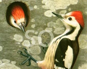 1961 Middle spotted Woodpecker, vintage Bird Print, Dendrocopos medius, Ornithology, Natural history, nature wall art