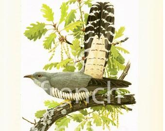 1961 Cuckoo Cuculus canorus Bird print Vintage Ornithology illustration wall art