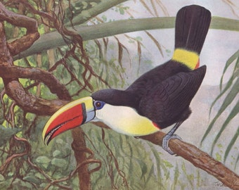 Red billed toucan original 1922 art print - Wall decor, tropical bird - 94 years old German antique lithograph illustration (C144)