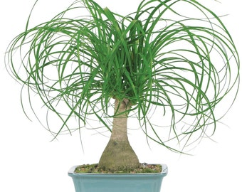 Ponytail Palm Bonsai *P*