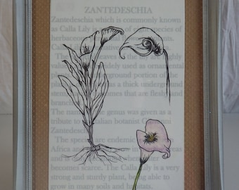botanical drawing. Calla Lily. Flower drawing
