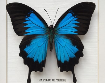 Blue Mountain Swallowtail Butterfly Frame