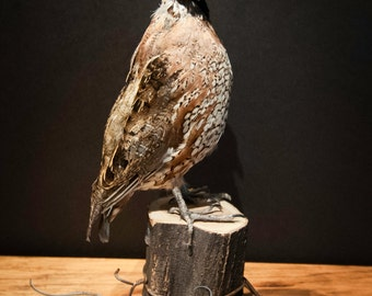 Taxidermy Bob White Quail Specimen on a Wooden Fence Post with Barbed Wire