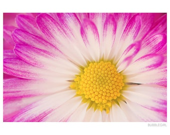 Nature Photography CANVAS, Pink and White Mum, Wall Art