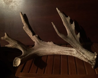 HUGE chewed Old Monster Non-Typical whitetail shed drop off Antler.