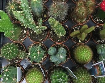"""2"""" cactus"""