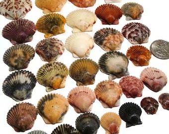 Scallop Shells - Hand Collected, pecten shells, pectin shells, beach decor, craft shells, shell jewelry, colorful shells, bulk shells
