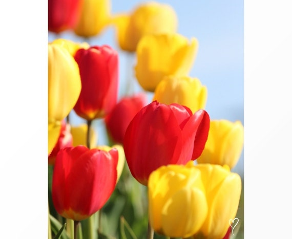 Yellow and Red Wall Art, flower photography red and yellow photographs floral photography red wall art flower art - Yellow and Red Tulips