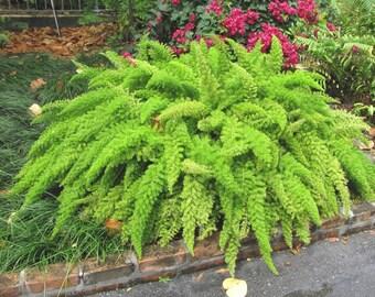 Foxtail Fern Seedling - Small Plant in 2 inch pot -  Asparagus Densiflorus Meyersii
