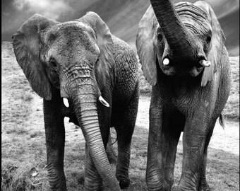 DESTOCKAGE - Elephant picture - black and white  / photo d'éléphant noir et blanc LIMITED EDITION