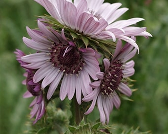 Berkheya Purpurea 15 Seeds, Purple Berkheya African Perennial Flower Plants