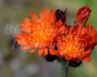 20x30 inches: Indian Paintbrush, Photography Print