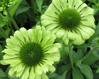 1 Green Jewel - Echinacea Root / Plant