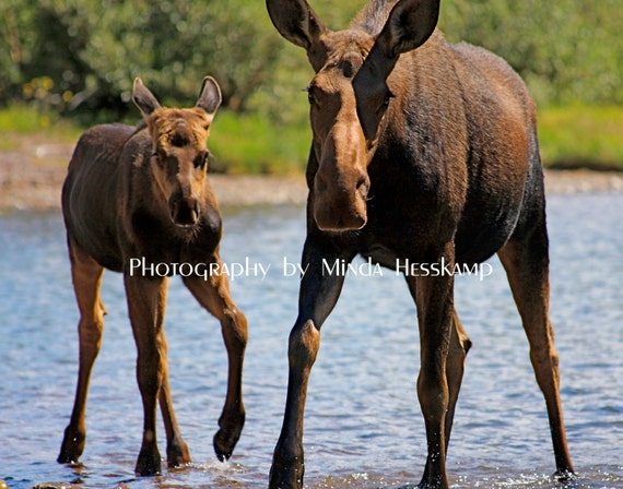 Me & My Mama Moose Cow and Calf Wild Animal Wildlife