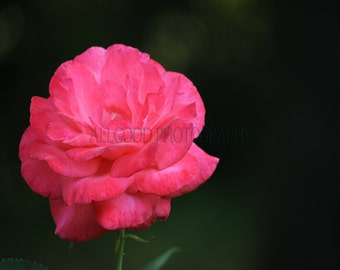Coral Rose, Nacogdoches, TX, Fine Art Photography