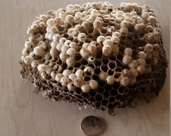 Wasp Nest,Empty Wasp Nest,Nest From Wasp,Ritual Wasp Supplies,Wasp Nest for Art,Large Wasp Nest,Display Under A Cloche,Craft Wasp Nest, Nest