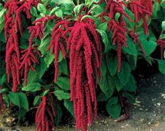Red Amaranthus Caudatus Flower Seeds/Annual    75+