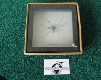 Framed Spider