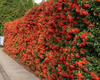 LIVE plant pretty berries Pyracantha coccinea (scarlet firethorn) cold hardy broadleaf evergreen (-28.8 C (-20 F))