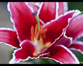 12x8 macro print of a of a Lily (Merostar). Print Only.