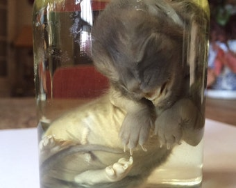 Preserved Stillborn Kitten