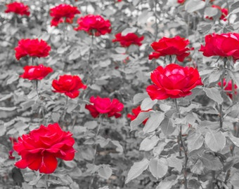 Rose photography print, Selective color, Black white and red , Red roses garden, Nature fine art photography, Home decor, Roses decoration