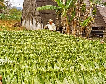 Viñales Tobacco Drying