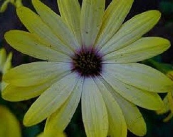 40+ Yellow African Daisy / Annual Flower Seeds