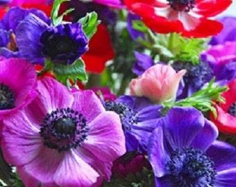 20+ Decaen Mix Anemone / Flower Seeds