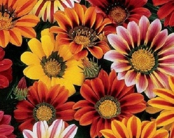 30+ Sunshine Mix Gazania / Drought Tolerant / Re-Seeding Annual Flower Seeds