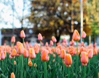 Tulips - peach vertical