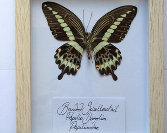 banded swallowtail