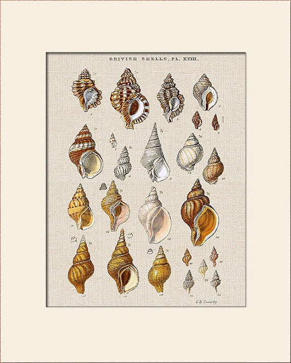 Sea Shell Print, Plate 18, George Sowerby, Art Print with Mat, Natural History Illustration, Wall Art, Nautical Art, Costal Decor