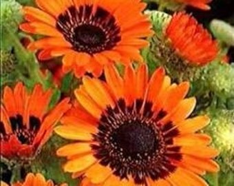 Orange Cape Daisy 50 Seeds