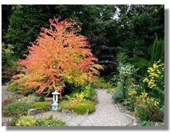 Katsura Tree 10 Seeds