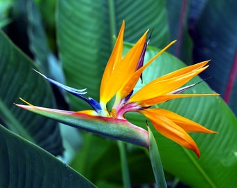 Bird Of Paradise 1 (Matted Giclee Photographic Print, 8 1/2 X 11 in )