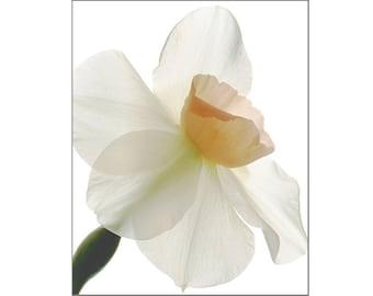 Daffodil Print, Botanical Print,  Scanned Flower Fine Art Print, Sheer X-Ray, Nature Photography, Nursery Decor, White Pink